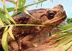 жаба сонник