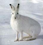 Заяц сонник