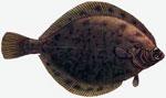 Камбала сонник