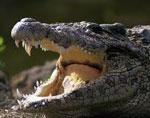 Крокодил сонник