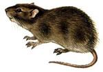 Крыса сонник