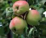 Яблоко сонник, яблоня сонник