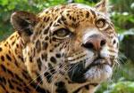 Ягуар сонник