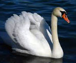 Лебедь сонник