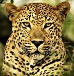 Леопард сонник