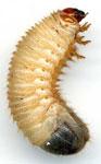 Личинка сонник