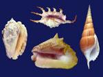 Моллюск сонник
