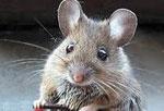 Мышь сонник