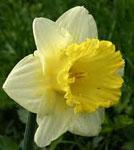 Нарцисс сонник
