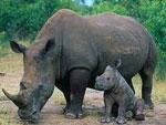 Носорог сонник