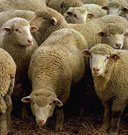 Овца сонник