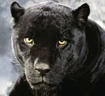 Пантера сонник
