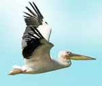 Пеликан сонник