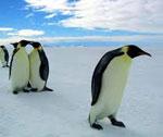 Пингвин сонник