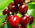 Плод сонник