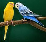 Попугай сонник