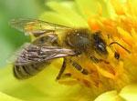 Пчела сонник