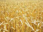 Пшеница сонник