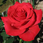 Роза сонник