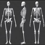 Скелет сонник