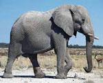 Слон сонник
