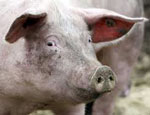 Свинья сонник
