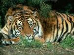 Тигр сонник
