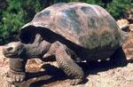 Черепаха сонник