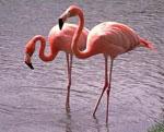 Фламинго сонник
