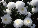 Хризантема сонник